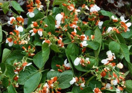 ornamental / bush runnerbeans